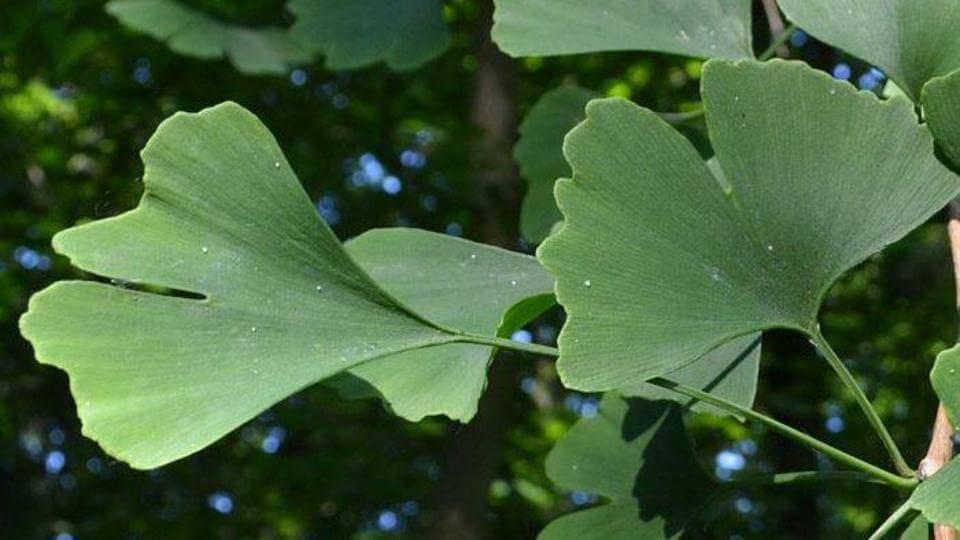Ginko Biloba is part of the Shine+ ingredients.